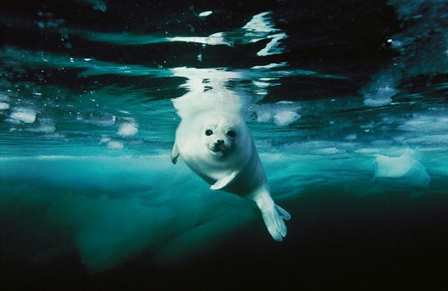 A harp seal in icy water