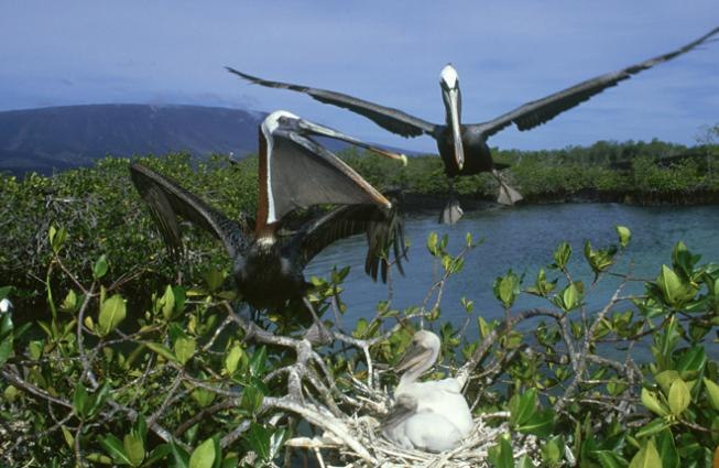 Brown pelicans (Pelecanus occidentalis) nest in a mangrove in Ecuador's Galapagos Islands.