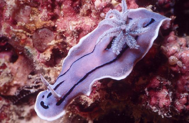 Photograph from above of a lavender-colored sea-slug with deep purple markings, swimming above a pink and orange surface.