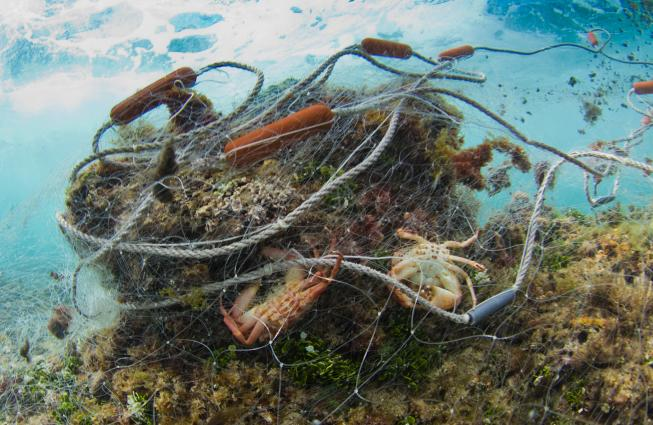 About a 300 foot long gill net found abandoned on a shallow reef in the surf zone on Oahu, Hawaii. The net had trapped parrotfish, wrasses, goatfish, surgeonfish, coral crabs, spiny lobsters, slipper lobsters and other fish that had decayed beyond identifi