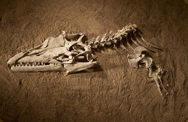 Fossil mosasaur skull and partial skeleton sitting in what looks like the dirt it was excavated from.