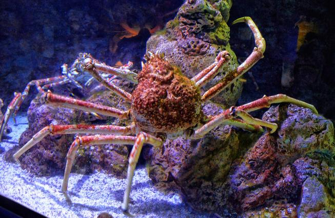 The Japanese spider crab may be big but it is not invincible.