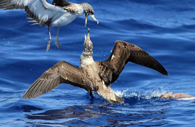 The largest of the Atlantic shearwaters, Cory's Shearwater (Calonectris borealis) can often be spotted by its casual wingbeat and gliding flight.