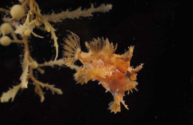 The fins of the frogfish are perfect for creeping around in the algae and stalking unsuspecting prey.