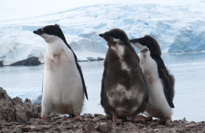 Three juvenile Adélie  penguins