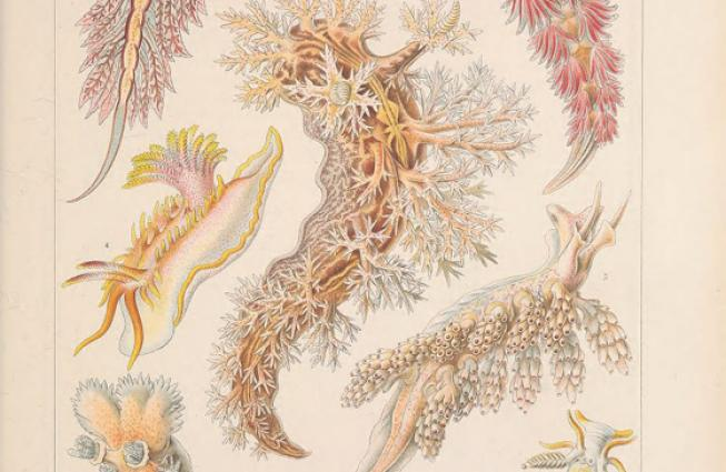 Illustration of colorful nudibranchs from Ernst Haeckel.