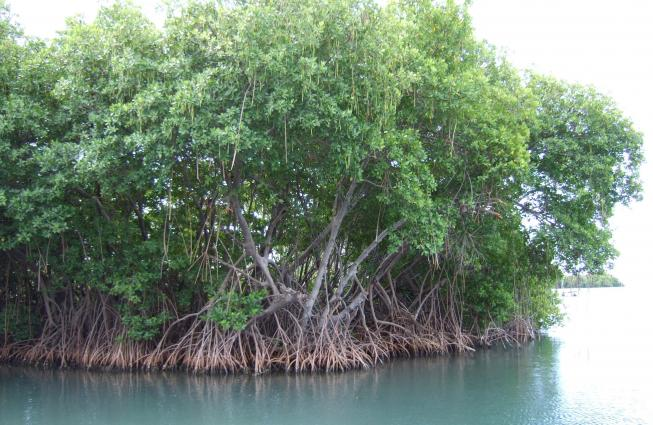 Mangrove roots provide an underwater habitat for many marine species.