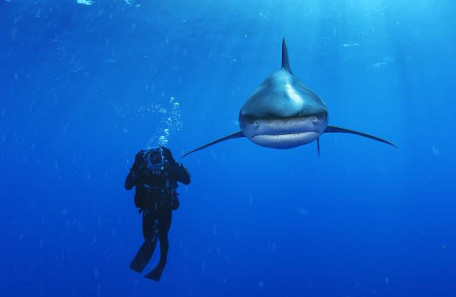 An oceanic whitetip shark swims near a biologist in the Bahamas.