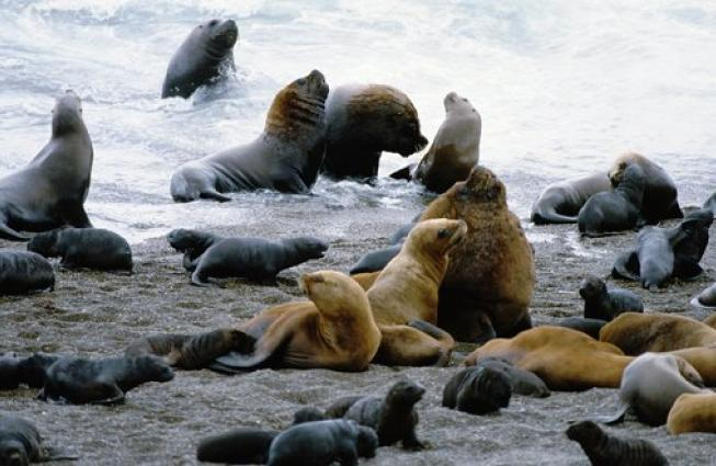 The Peninsula Valdes in Argentina was inscribed on the World Heritage List in 1999. The site is home to important breeding populations of the endangered southern right whale (Eubalaena australis), southern elephant seal (Mirounga leonina), and southern sea