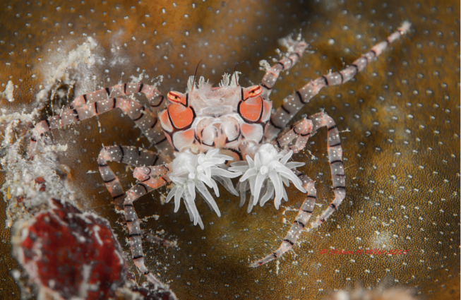 A pink, white and black colored boxing crab holds two anemones in its claws.