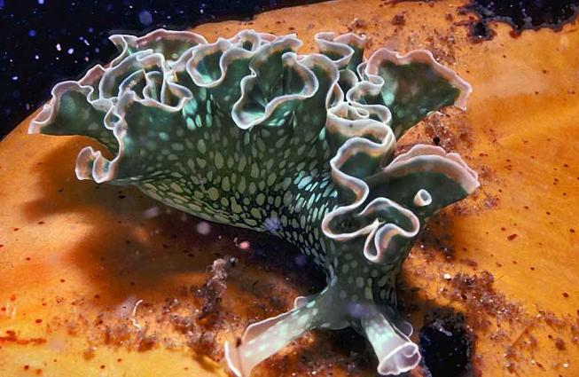 Photograph of a green sea slug, with white polka-dot-like markings and white-edged ruffly structures along the length of its back.