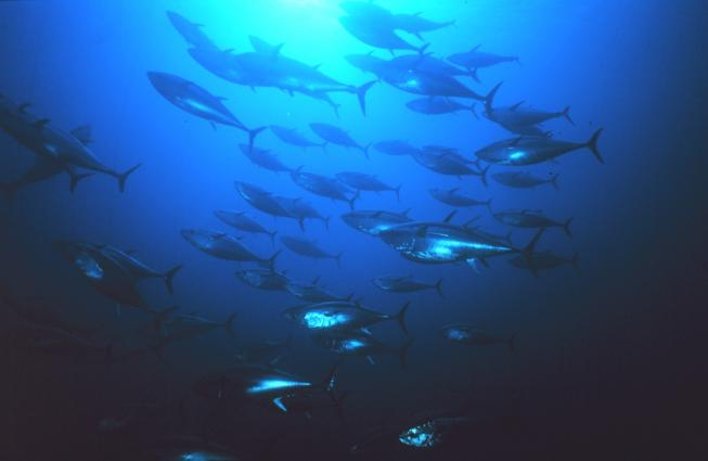 A school of bluefin tuna