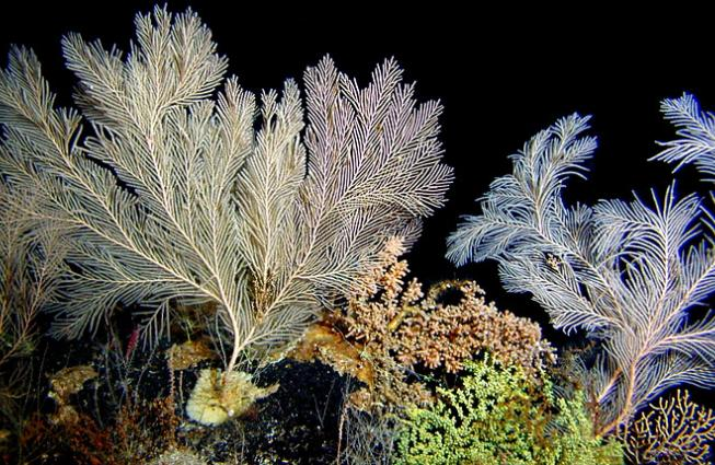 Coral scientist Dr. Amy Baco-Taylor observed corals like these on her first submarine dive to a deep-sea coral bed off the coast of Hawaii.