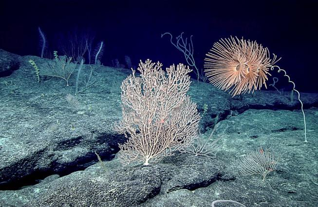 Octocorals dominated the seafloor on Chris Mah's Okeanos mission to Johnston Atoll in the remote Pacific Ocean.