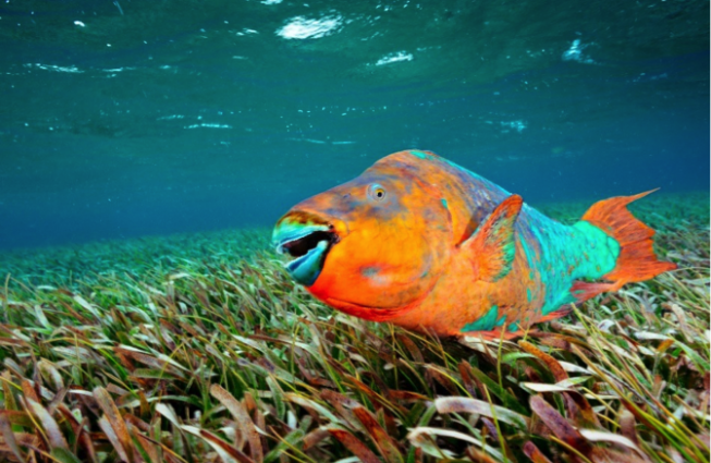 A brightly colored parrotfish swims over a field of seagrass.