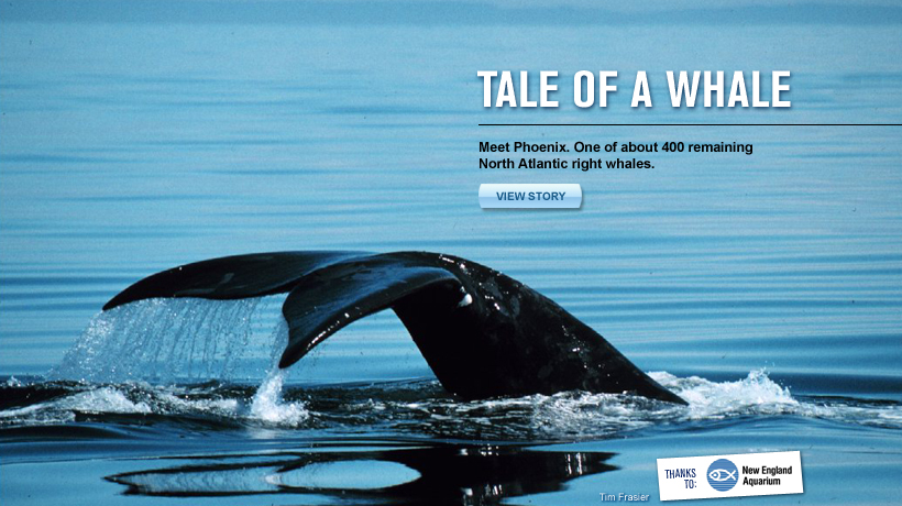 A right whale named Phoenix swims through the ocean