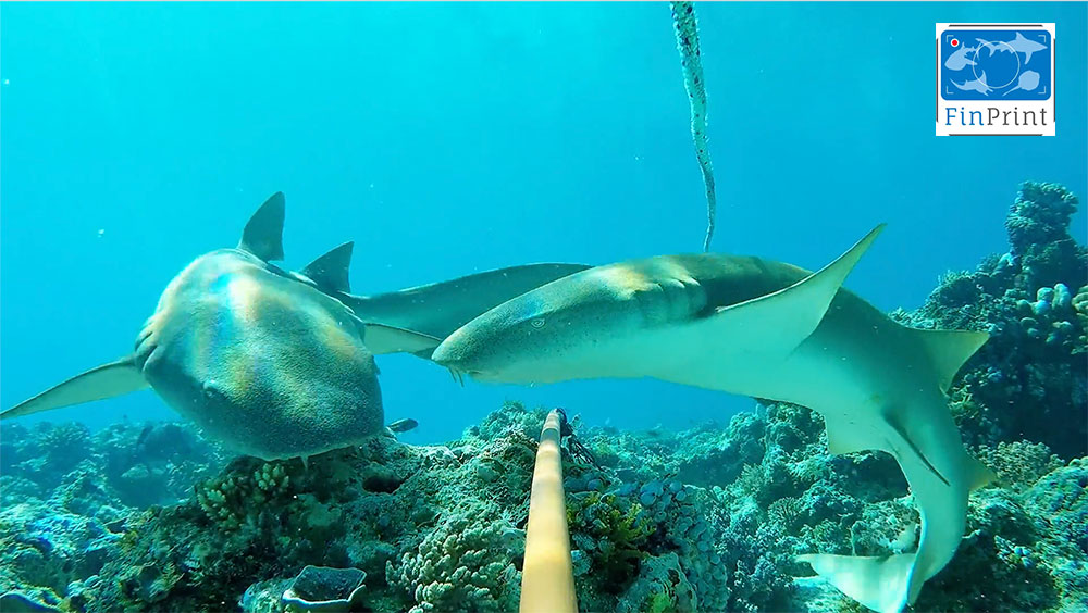 Two nurse sharks hover over a baited cage
